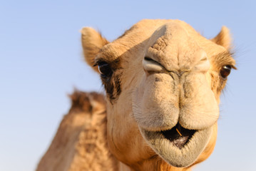 Fototapeta Closeup of a camel's nose and mouth, nostrils closed to keep out sand