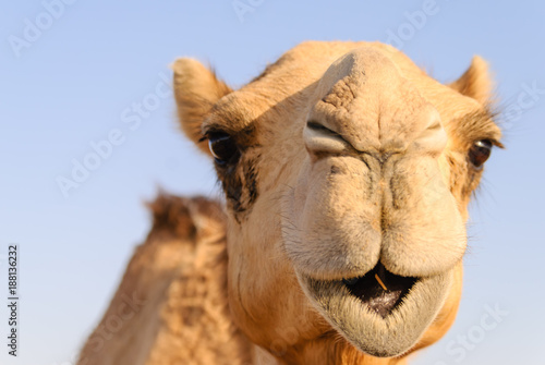 Photo Closeup of a camel's nose and mouth, nostrils closed to keep out sand