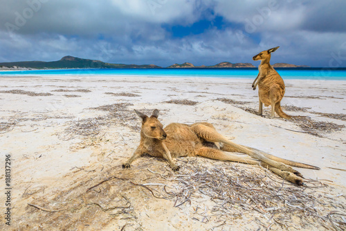 In de dag Kangoeroe Two kangaroos at Lucky Bay in Cape Le Grand National Park, near Esperance in Western Australia. Lucky Bay is one of the best beaches for its white sand, turquoise water and perfect swimming conditions