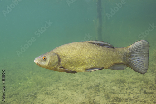 Fototapeta Freshwater fish tench (Tinca tinca) in the beautiful clean pound