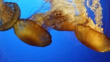 Several Beautiful Jelly Fish D...