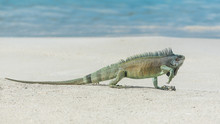 Green Iguana Walking The Sand,...