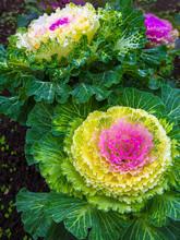 Beautiful Ornamental Cabbage I...