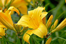 Beautiful Yellow Daylily.