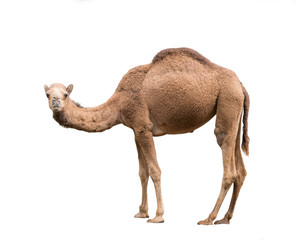 Fototapeta Arabian camel isolated on white background