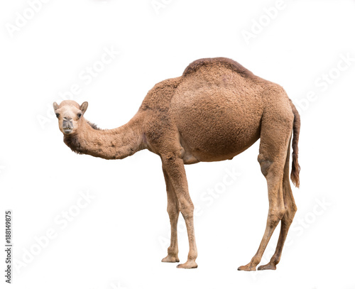 Tuinposter Kameel Arabian camel isolated on white background