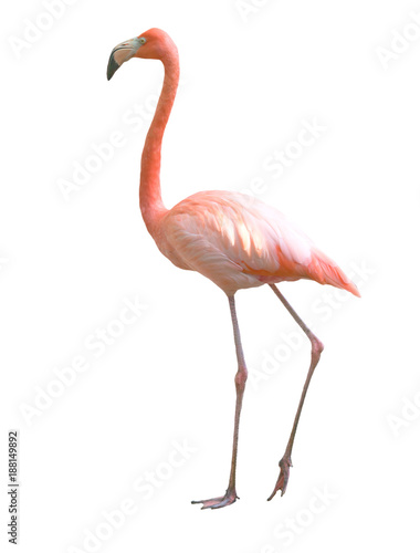Fotobehang Flamingo flamingo bird isolated