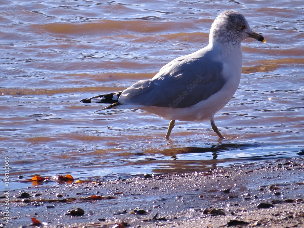Ring Billed Seagull Bird Walking Along The River Shoreline