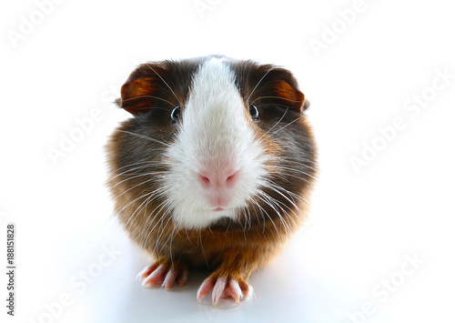 Fotografía  Isolated white pet photo