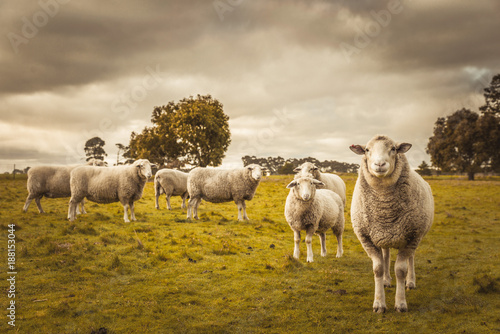 Cadres-photo bureau Sheep Australian countryside rural autumn landscape. Group of sheep grazing in paddock at farm