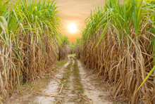 Sugar Cane Field With Sunrise ...
