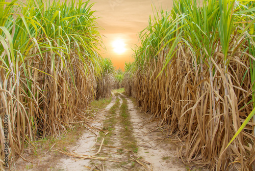 Fotografiet Sugar cane field with sunrise or sunset background