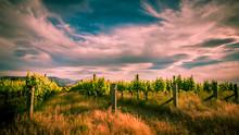 New Zealand Vineyard Near Blenheim Under Dramatic Sky