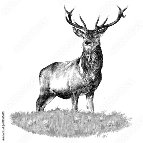 Photo  the deer head is in the green sketch vector graphics monochrome black-and-white
