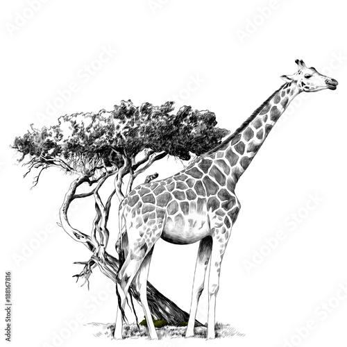 Naklejki żyrafa  a-giraffe-standing-near-a-tree-sketch-vector-graphics-monochrome-drawing