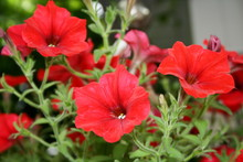 Colourful Petunia. Flowerbed W...