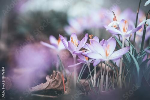 Fotografia  Close up of spring crocuses flowers, outdoor springtime nature