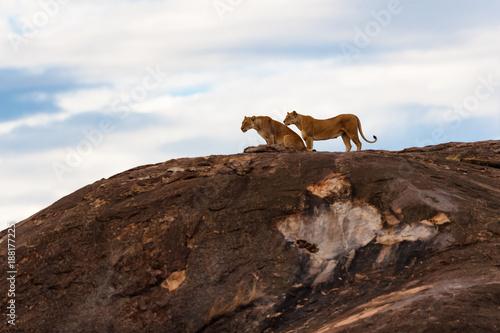 Pinturas sobre lienzo  Two Lions waiting of sunrise on the Sand River stones in Masai Mara, Kenya