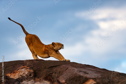 Fotografía  Lion female streching on the stones of Sand River in Masai Mara, Kenya
