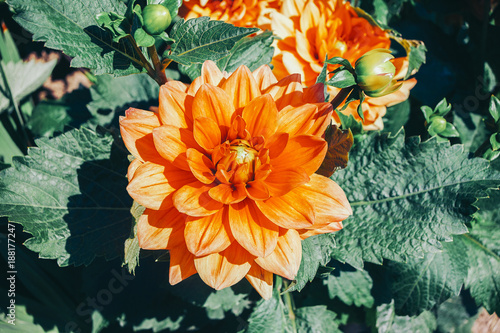 Wall Murals Floral Single flower Chrysanthemum shine-orange color, blue toning.