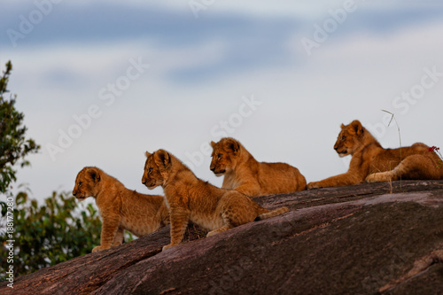 Fotografía  Lion cubs on Sand River Stones in Masai Mara, Kenya