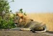 The lion on a rock, Kenya
