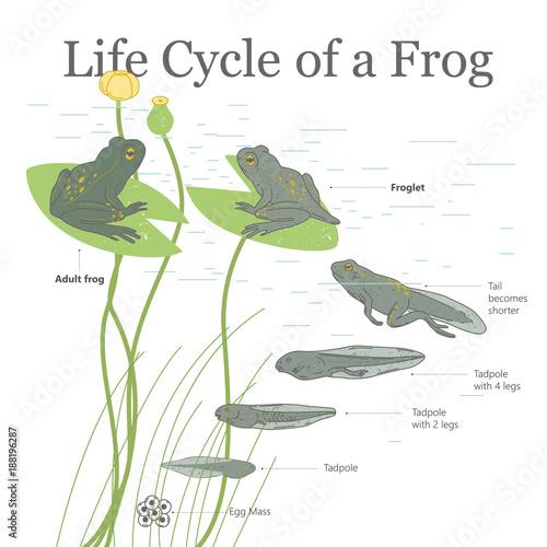 Fototapeta  Life Cycle of a Frog.