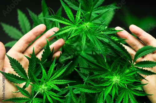Obraz na plátně A large number of cannabis flowers in the hands of a man
