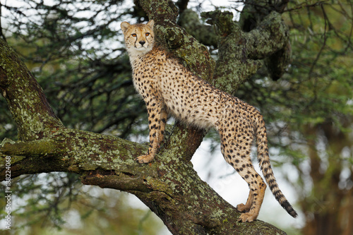 Poster Leopard Cheetah in a Tree