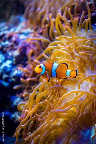 Poster Sous-marin Anemonefish
