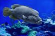canvas print picture - Napoleon-Lippfisch (Cheilinus undulatus) zwischen Korallen