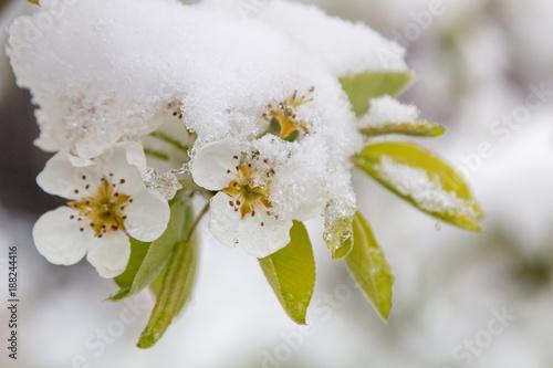 Birnblüten mit Frost, Kälteeinbruch im Frühjahr