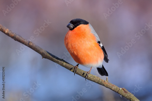 Photo Eurasian (common) bullfinch (Pyrrhula pyrrhula) in the rays of the rising sun (sitting on the branch with pink-blue background)