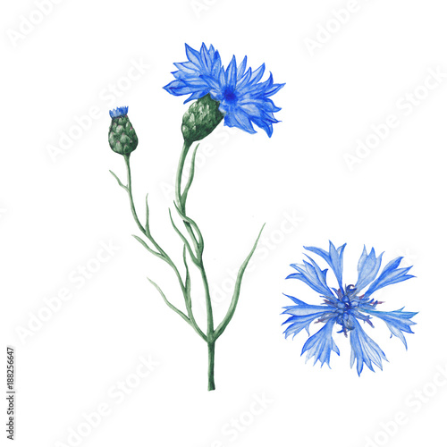 Foto  Botanical illustration of watercolor cornflowers