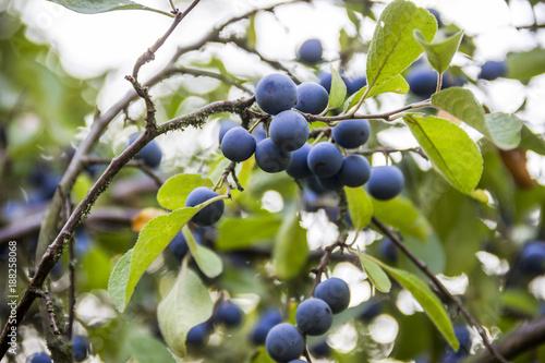 Valokuvatapetti blackthorn (prunus spinosa)