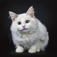 Blue Eyed Ragdoll Cat / Kitten Laying Isolated On Black Background Facing Camera Waiting