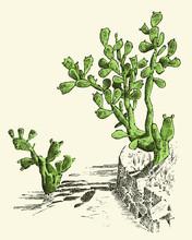 Prickly Pear Cactus. Plants En...