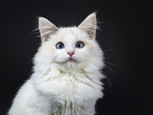 Portrait Of Blue Eyed Ragdoll Cat / Kitten Sitting Isolated On Black Background Looking At The Lens