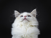 Head Shot Of Blue Eyed Ragdoll Cat / Kitten Sitting Isolated On Black Background Looking Up