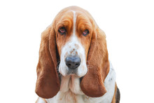 Lovely Basset Hound Tricolor W...