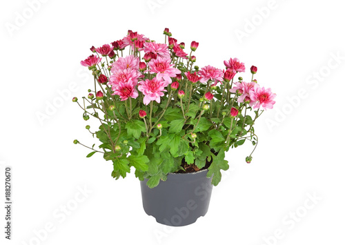 Foto op Canvas Madeliefjes Chrysanthemum flowers sprout in pot