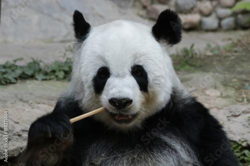 Valokuva  Female Giant Panda in Thailand