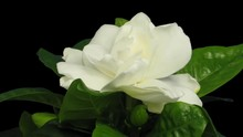 Time-lapse Of Opening Gardenia...
