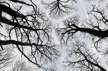 Black Forest Trees View Upwards Of Canopy With Tall Trees And Twisted Branches