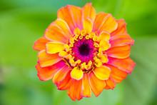 Vibrant Summer Zinnia Flower