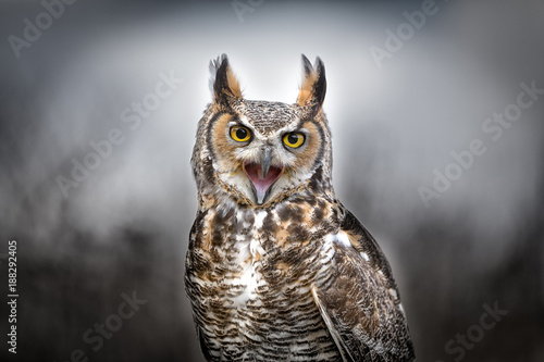 Deurstickers Uil Grey Horned Owl