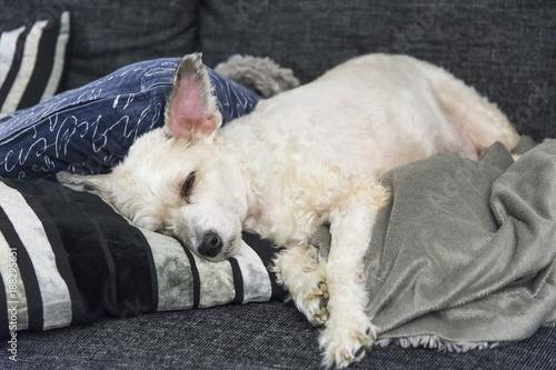 Fotografie, Obraz En slö kinesisk naken hund med hår som är en mysig och go familjehund