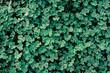 dark green clover texture background