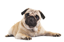 Cute Pug Close-up On White Background
