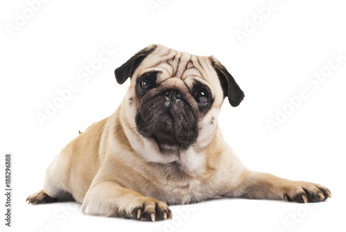 cute pug close-up on white background Wallpaper Mural